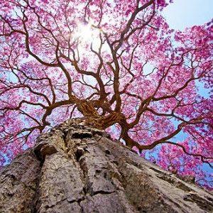 Natural Healing Room - Pau D'Arco Bark (Tabebuia avellanedae/Tabebuia impetiginosa)