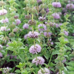 Natural Healing Room - Pennyroyal Herb (Mentha pulegium)