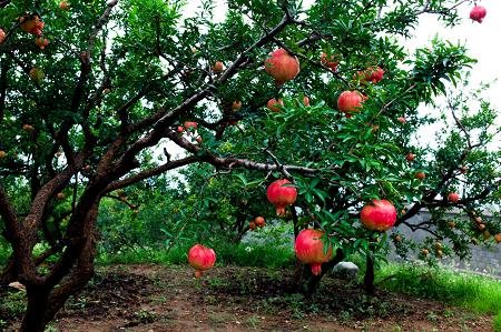 Natural Healing Room - Pomegranate Fruit Powder (Punica granatum)