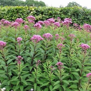 Natural Healing Room - Queen of the Meadow/Joe-Pye Weed (Eupatorium purpureum)