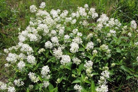 Natural Healing Room - Red Root / New Jersey Tea (Ceanothus americanus)