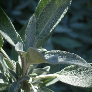 Natural Healing Room - Sage Leaf (Salvia officinales)