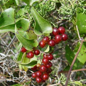 Natural Healing Room - Sarsaparilla Root (Smilax medica)