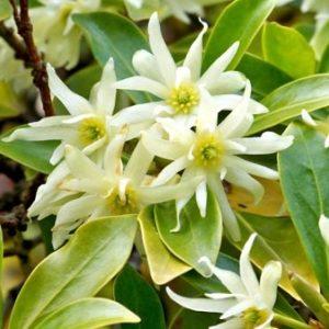 Natural Healing Room - Star Anise (Illicium verum)