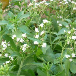 Natural Healing Room - Stevia (Stevia rebaudiana)