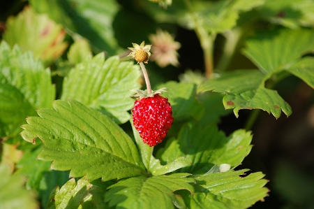 Natural Healing Room - Strawberry Leaf (Fragaria vesca)
