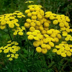 Natural Healing Room - Tansy Herb (Tanacetum vulgare)