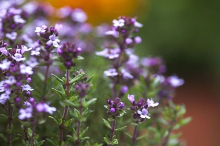 Natural Healing Room - Thyme Leaf (Thymus vulgaris)