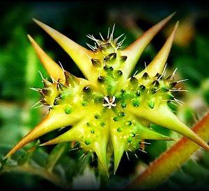 Natural Healing Room - Tribulus Terrestris Fruit Powder