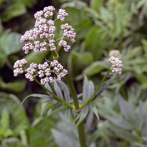 Natural Healing Room - Valerian Root (Valeriana officinalis)