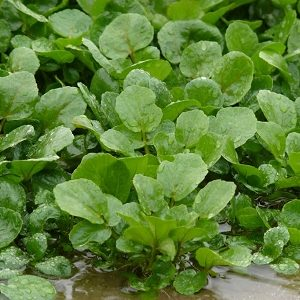 Natural Healing Room - Watercress (Nasturtium officinale)