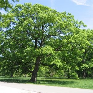 Natural Healing Room - White Oak Bark (Quercus alba)