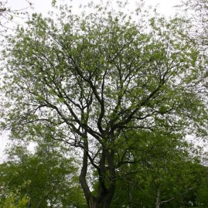 Natural Healing Room - Wild Cherry Bark (Prunus serotina)