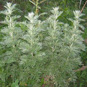 Natural Healing Room - Wormwood (Artemisia absinthium)
