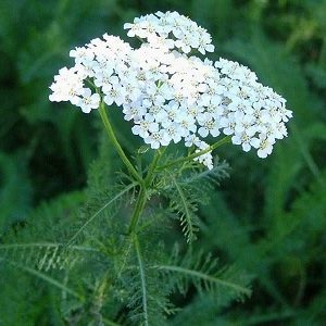 Natural Healing Room - Yarrow Flowers (Achillea millefolium)